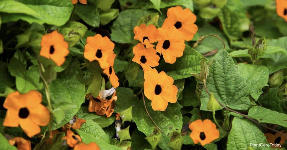 Flowering Thunbergia alata Black-eyed Susan vine