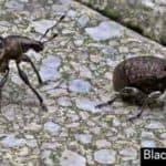 Black Vine Weevil Beetles And Larvae Control [HOW TO]