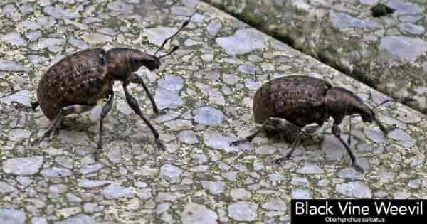 two black vine weevil beetles on stone walkway