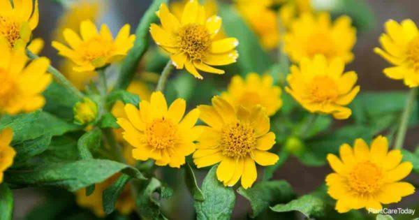 Buttery flowers of the blackfoot daisy (Melampodium Leucanthum)