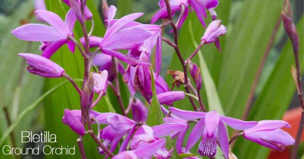 Flowers of the Bletilla Striata (Ground Orchid)