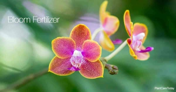 Orchid flowers need bloom fertilzers for strong stems and long lasting flowers
