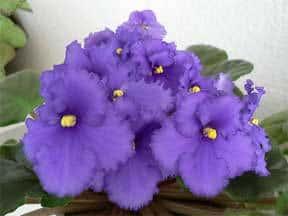 blooming-african-violet