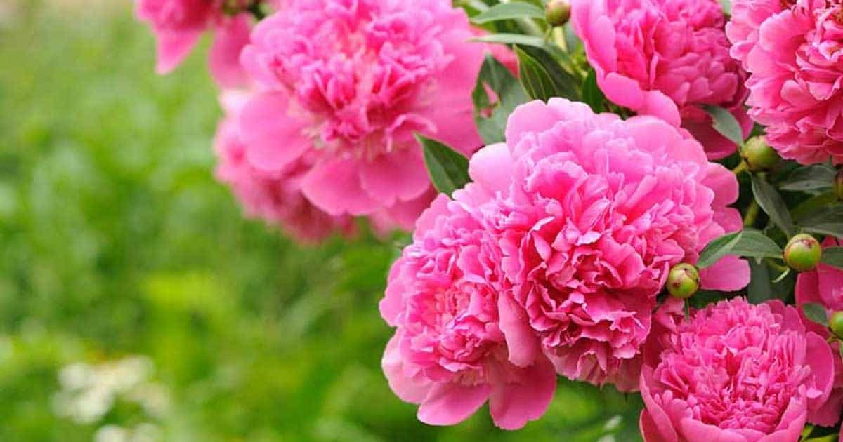 blooming-peony-10312015
