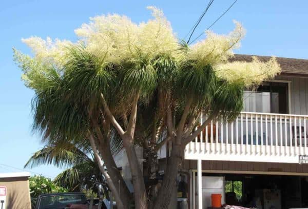 Blooms on the Ponytail palm (Elephant foot plant)