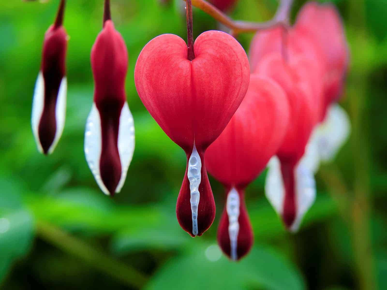 How To Grow And Care For The Bleeding Heart Plant