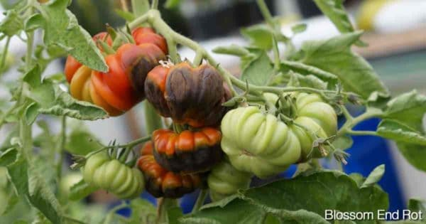 tomatoes on the vine with blossom rot