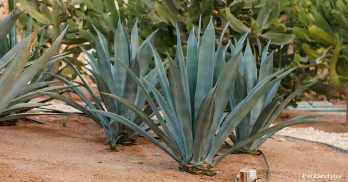 Blue Agave tequilana planted in the landscape