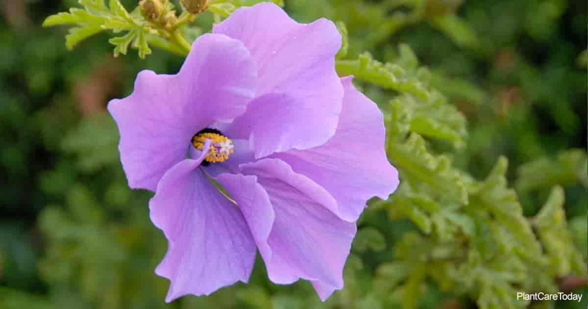 Flowers of the Blue Hibiscus (Blue Hibiscus (Alyogyne Huegelii)