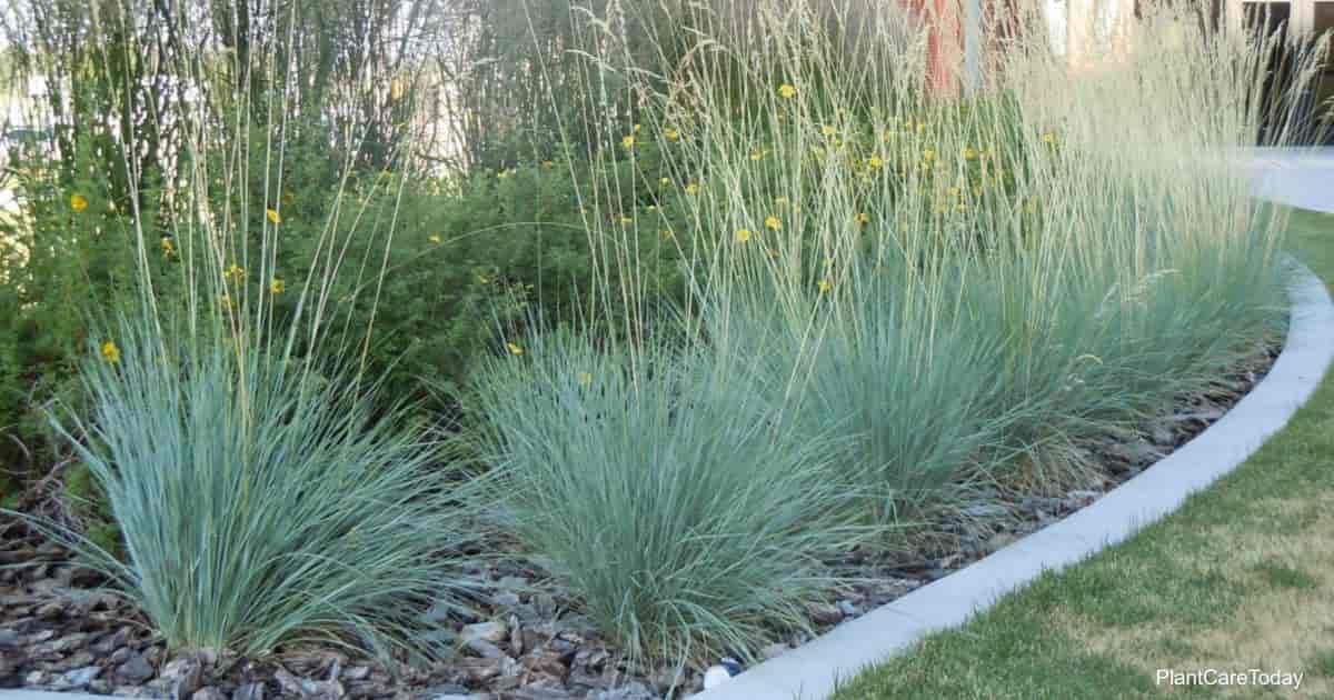 Blue Oat Grass growing in the landscape