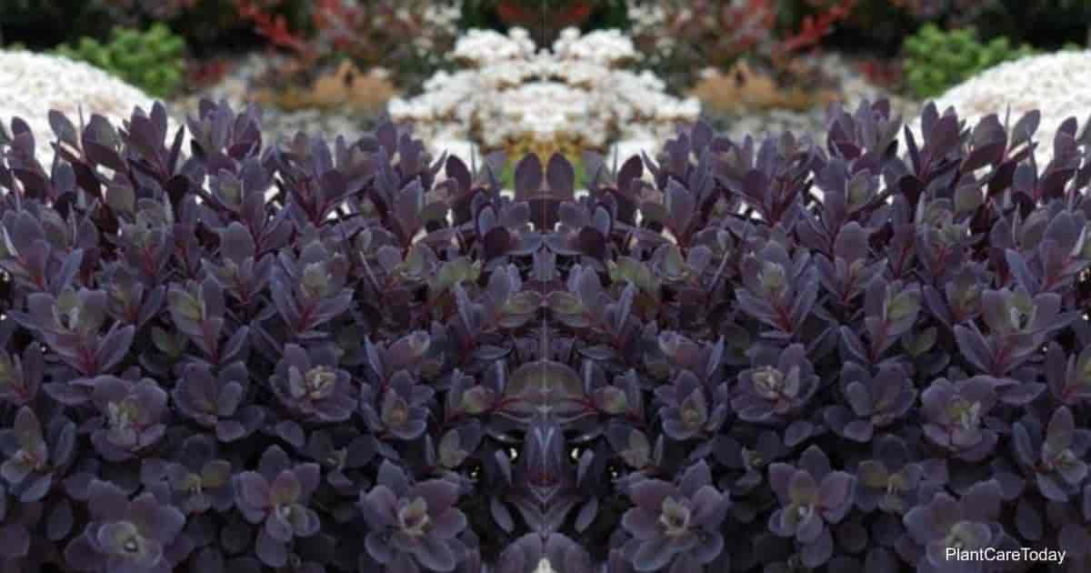 Dark leaves of the Blue Pearl Sedum