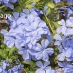 Plumbago Plant: How To Grow The Blue Plumbago