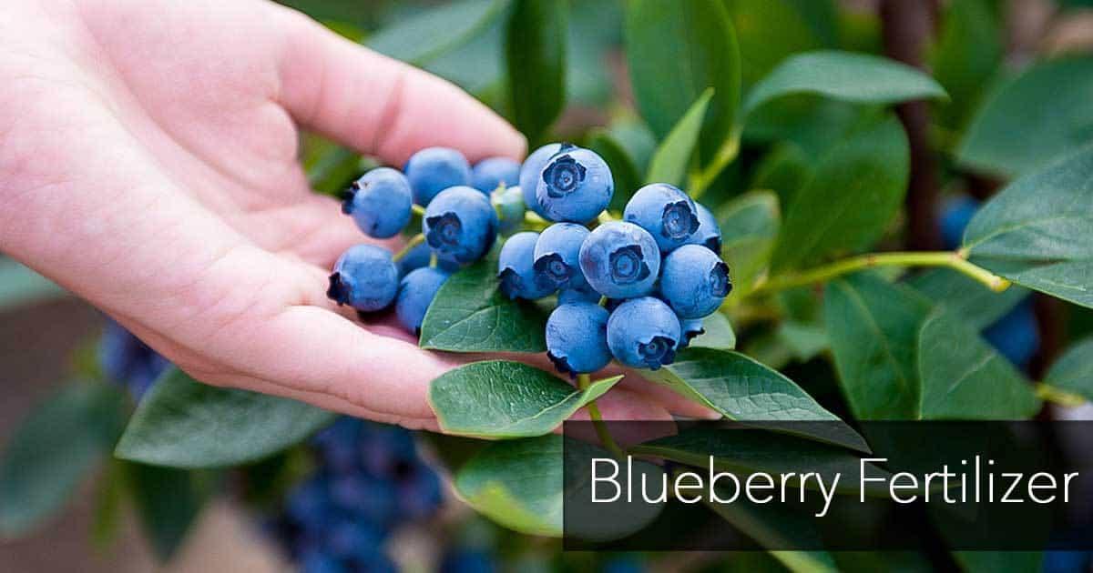 blueberry fertilizer