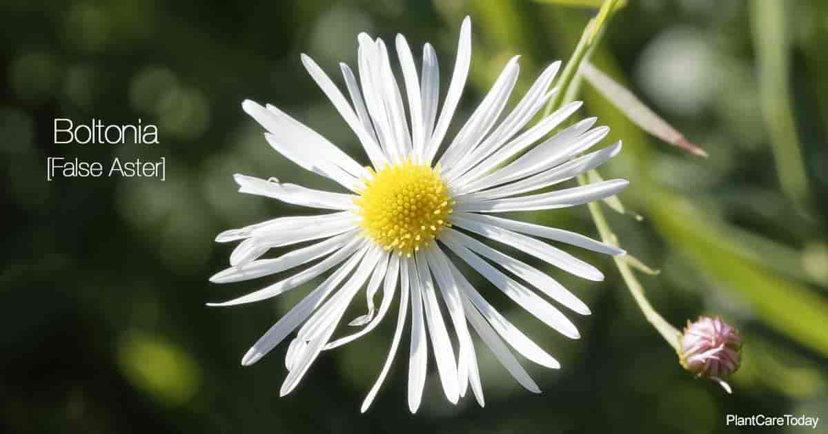 Flower of Boltonia Asteroides the False Aster