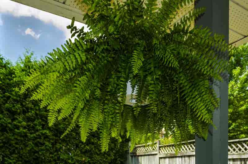 boston fern hanging basket - nephrolepis exalts