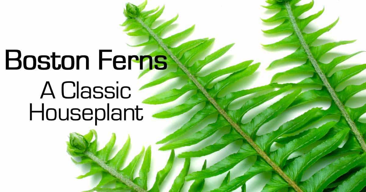 Boston fern a classic houseplant