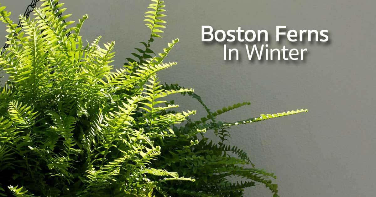 boston-ferns-winter-11302015