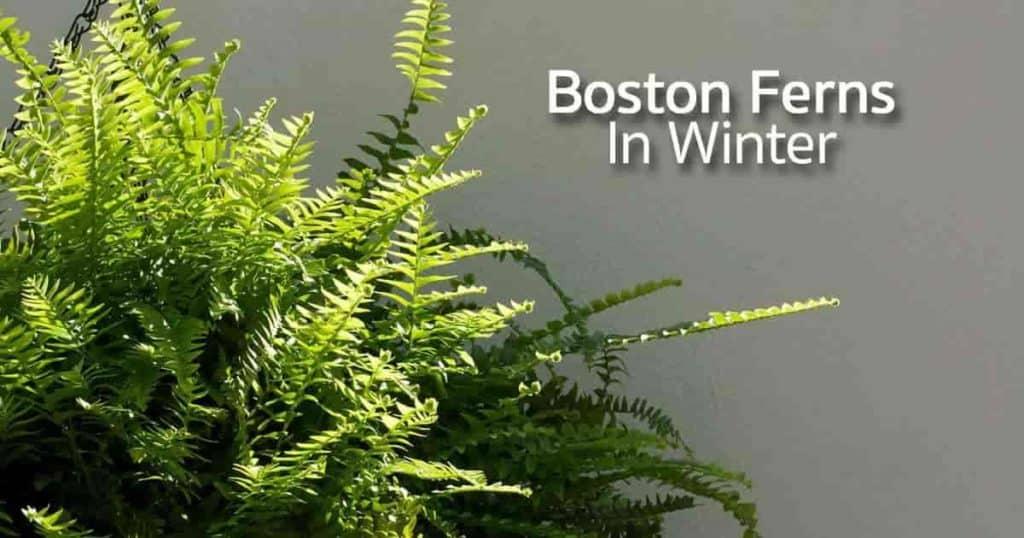 Boston ferns in winter