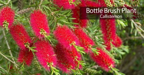 Blooming of the Bottle Brush tree