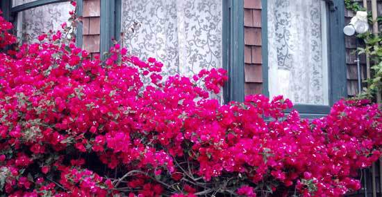 red bougainvillea blooming in front of window