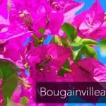 Bougainvillea blooming use the righ bougainvillea fertilizer