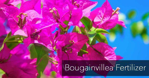 Bougainvillea blooming use the righ bougainvillea fertilizer