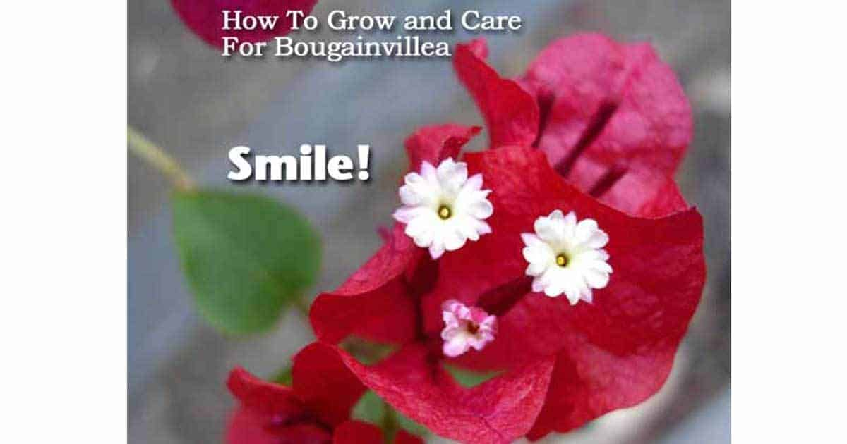 How To Grow And Care For Bougainvillea