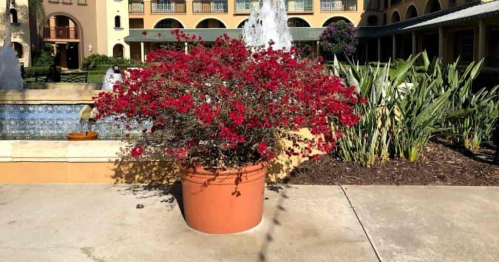 large potted Bougainvillea