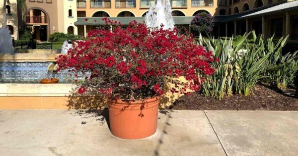potted crimson red Bougainvillea at a Disney Resort
