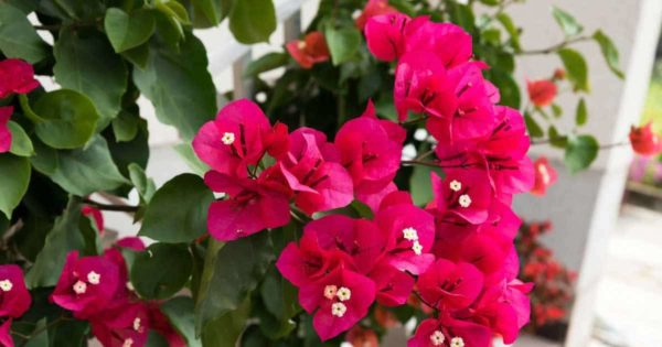 red flowering bougainvillea