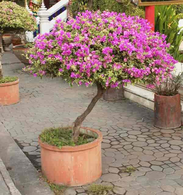 bougainvillea growing as a tree flowering