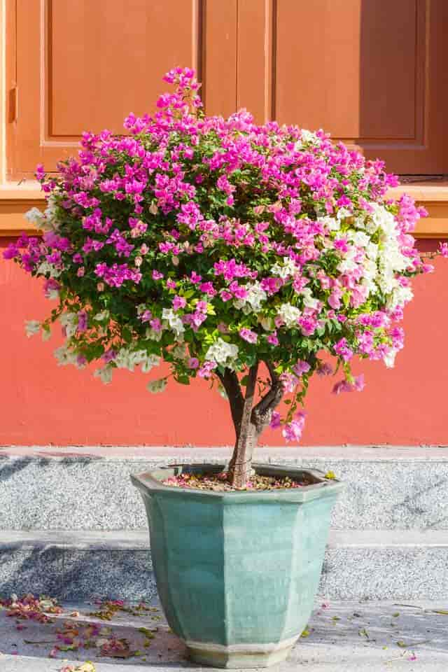 bougainvillea tree or standard in bloom