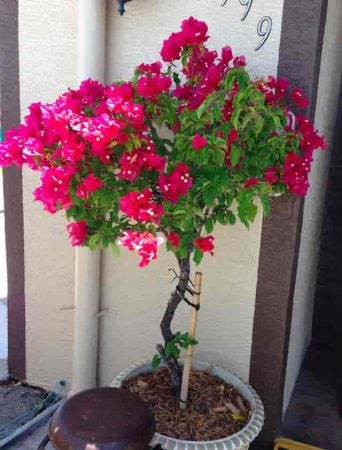 Blooming potted Bougainvillea growing as a tree