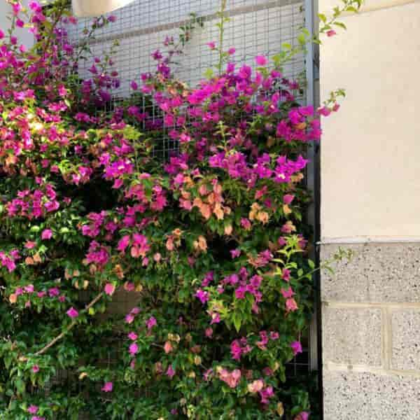 bougainvillea growing up a 30 foot tall trellis in Daytona Beach Florida