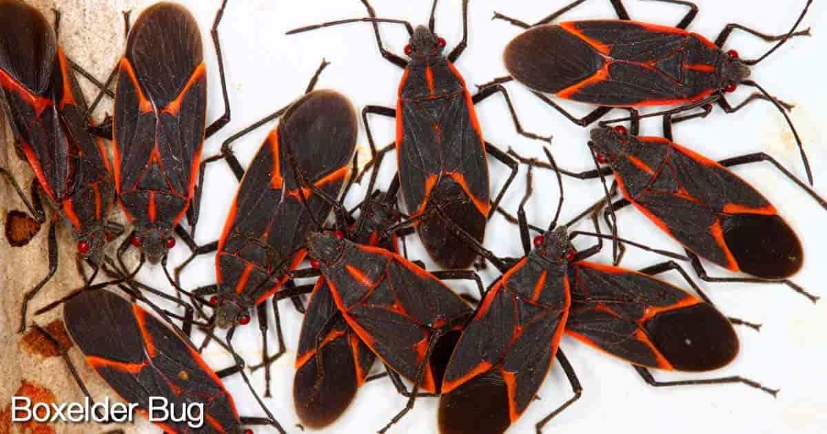 group of boxelder bugs their red veins sitting on top of charcoal-colored wings