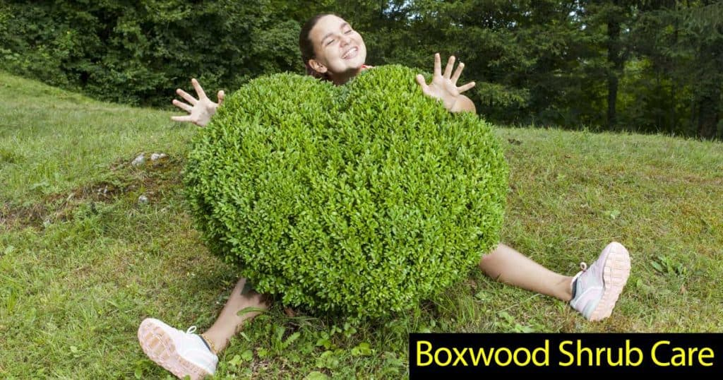 boxwood shrubs care