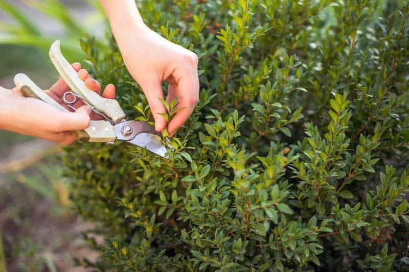 Boxwood Shrubs How To Grow And Care For Boxwoods