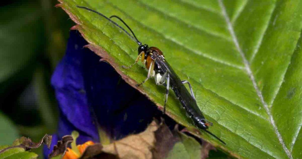 Braconid wasp on leaf