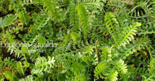 unique foliage of the Brass button plant - Leptinella Squalida