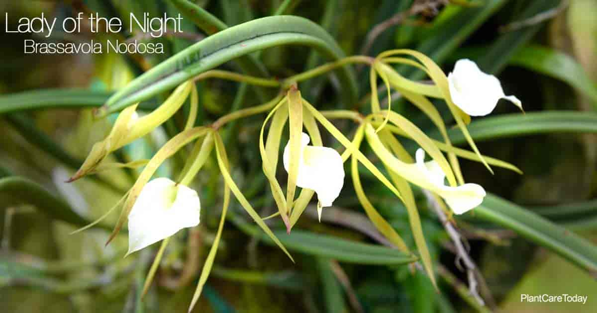 Fragrant flowers of Brassavola Nodosa (Lady of the Night)