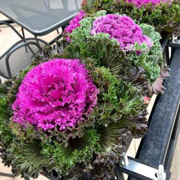 Brassica oleracea known as flowering kale or ornamental kale in Gainesville FLorida Dec 2019