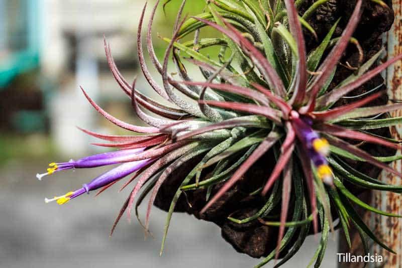 bromeliad plant care tillandsia
