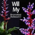 Will My Bromeliad Rebloom?