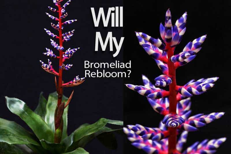 bromeliad-rebloom-2-110513