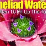 Bromeliad Watering – How Often To Fill Up The Tank!