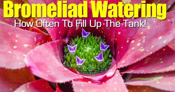 the cup of a bromelaid plant that holds water