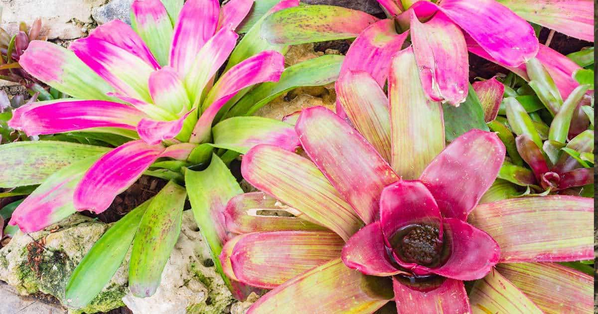 bromeliads-patioscaping-08312015