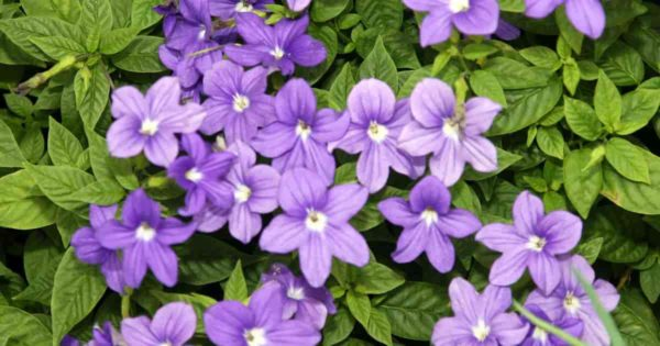 Browallia speciosa: Browallia series include Bells and Endless Illumination. This is a traditional annual with pretty, corrugated green leaves and an abundance of purplish blue flowers