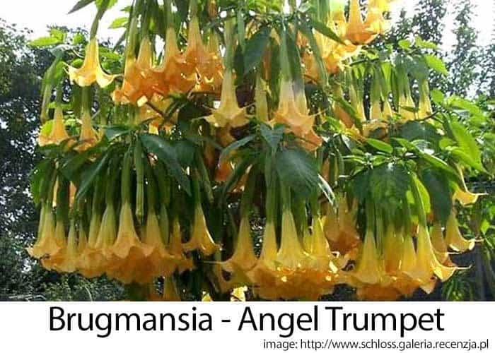 angel trumpets or brugmansia Get expert gardening tips on the angel's trumpet brugmansia how much sun, shade, water and care does it need read on to find out.