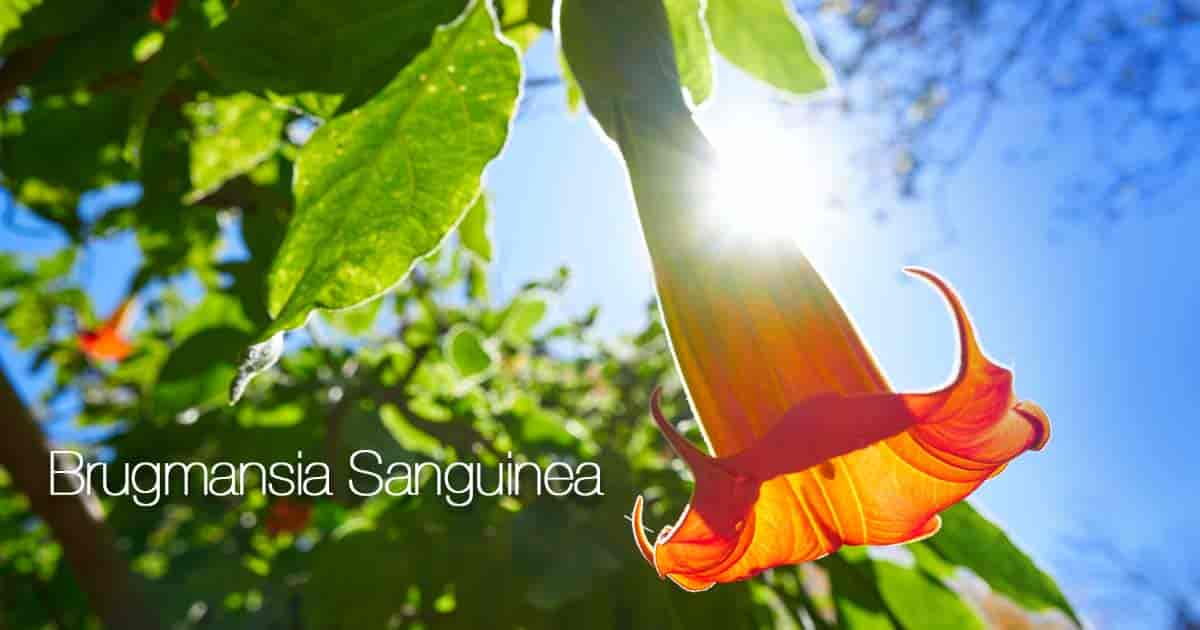 Flowering Brugmansia Sanguinea (Red Angels Trumpet)